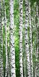 Fototapeta Birches