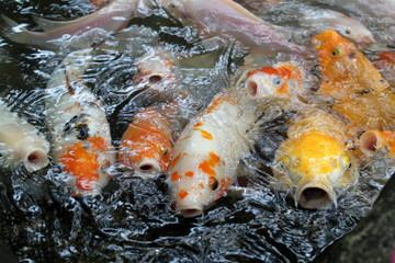 Koi fish in pond ..