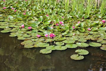 Seerosen in einem Teich