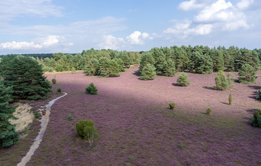 Heideblüte im Naturpark Lüneburger Heide