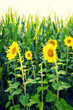 canvas print picture - sunflowers at the cornfield