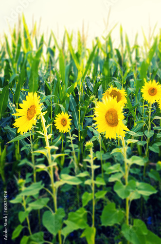 canvas print picture sunflowers at the cornfield
