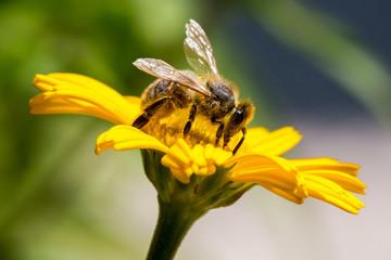 Biene genießt den Blütenstaub