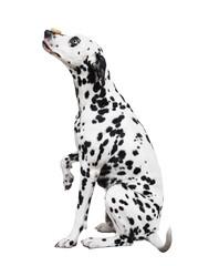 Собака далматинец с бубликом на носу