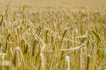 wheat, agriculture, cereal, field, straw, yellow, food