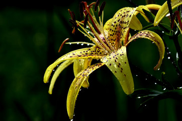 Yellow tiger lily glistening in the sun after the rain