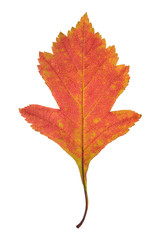 Red autumn leaf of hawthorn isolated on white background
