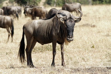 Wildebeest Migrating on the Masai Mara in Africa