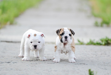 Puppy of an English bulldog
