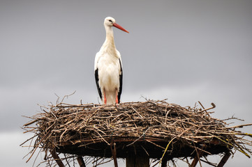 White stork on a nest, Salburua park, Vitoria(Spain)