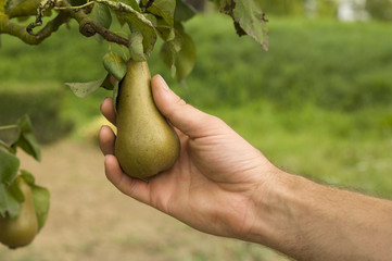 Farmers hand holding a pear in the tree