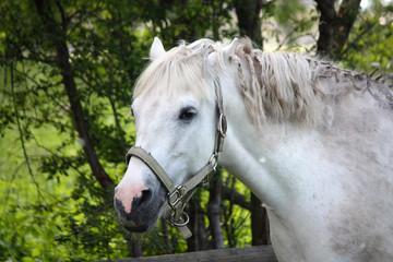Cute white pony