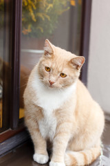 Red-haired adult cat  on a windowsill