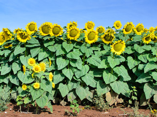 Sunflowers in the field I