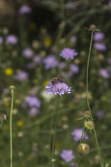 Abeille sur une fleur 002