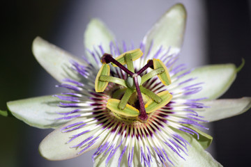 Passionflower, Tuscany Countryside