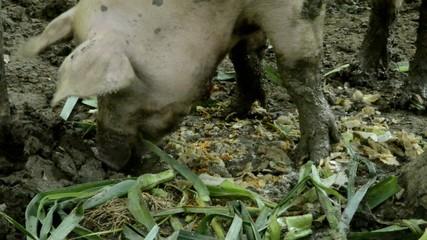 Sus scrofa domesticus Домашняя свинья Hausschwein Maiale