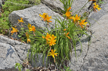 Lilies on stones 6