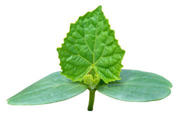Plantlet of cucumber 12