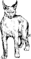 hand drawn bobcat