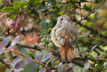 Птенец птицы горихвостки.