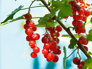 ripe red currant berries close up