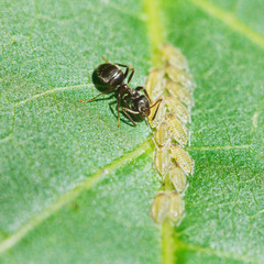 ant pastures aphids group on leaf