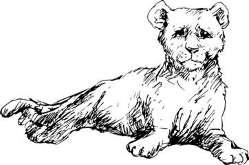 hand drawn baby cougar (puma)