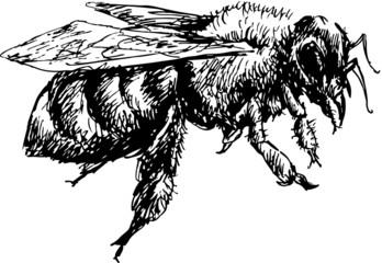 hand drawn bee