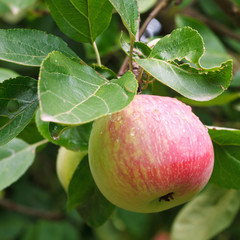 red ripe apple on green sprig close up