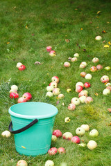 picking ripe apples in bucket in fruit orchard