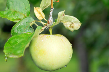yellow apple on green sprig close up