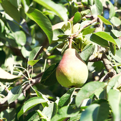 ripe pear in foliage of tree