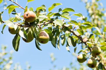 branch with ripe pears in orchard