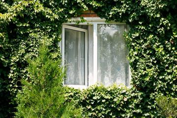 green ivy around new open window