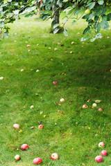 fallen ripe apples lie on green grass under tree