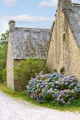 hydrangea flowers near typical old breton houses