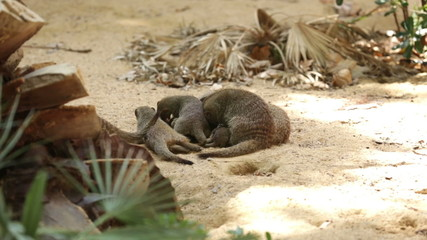 Family of Banded mongoose (Mungos mungo) digging the ground