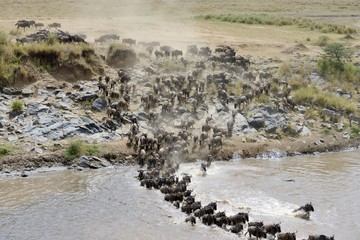 Wildebeest crossing the Mara River 03