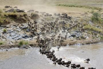 Wildebeest crossing the Mara River 03