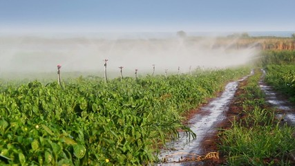 Sprinkler irrigation of vegetables into the field.