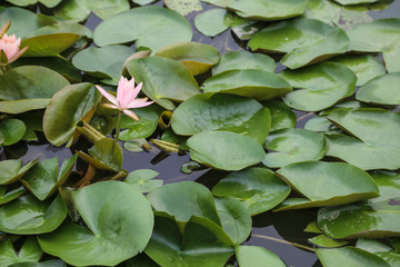 water lilies in the lake in chengdu,china
