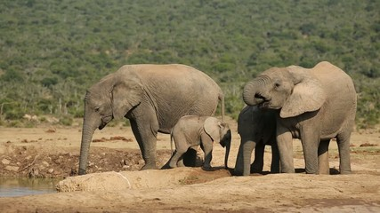 African elephants with calf drinking at a waterhole