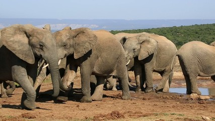 African elephants interacting at a waterhole