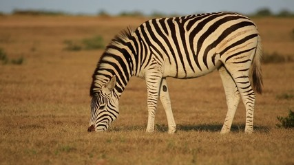 A plains zebra grazing in grassland