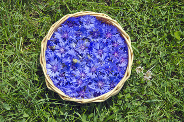 beautiful summer medical Cornflower in basket on grass