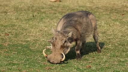 A male warthog feeding on green grass