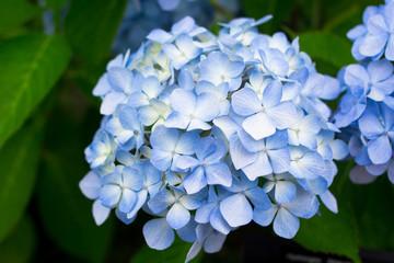 Blue Hydrangea flowers in summer of Tokyo, Japan