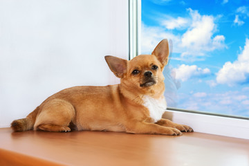 Red chihuahua dog lies on windowsill at window.