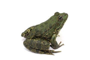 dark green striped frog on white background
